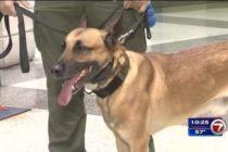 Agente canino aplaudido en Miami Beach, rescató pertenencias de un turista