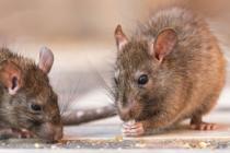 Alerta con las ratas: la leptospirosis estaría repuntando en Florida