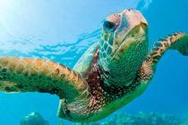 Al menos 500 tortugas que anidan en Florida sufren lesiones por barcos