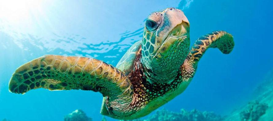 En Miami Beach encontraron tortugas encadenadas… ¡a muñecas vudú!