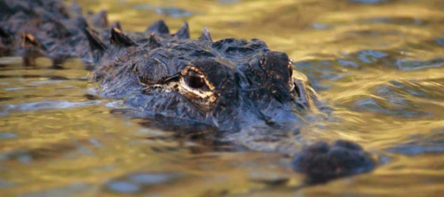 Anciano de 85 años fue atacado por un caimán en un asilo de Florida