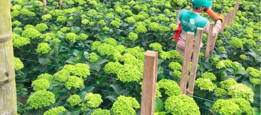 Flores del Este: Cómo las hortensias reunieron a madre e hija