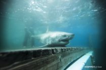 Tiburones podrían migrar al sur de Florida en los próximos meses