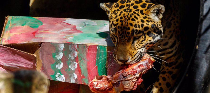 Animales del zoológico de Miami reciben deliciosos regalos navideños