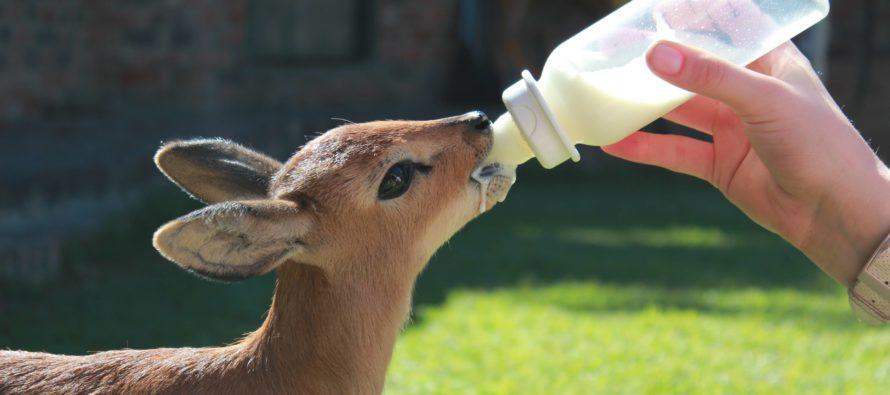 Nacimiento de bebé Steenbok llena de alegría y colorido el zoológico de Miami