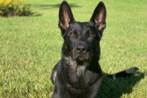 Detienen a dos personas por la muerte de Cigo, el valiente perro policía