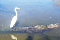 Una garza utiliza a un cocodrilo como medio de transporte
