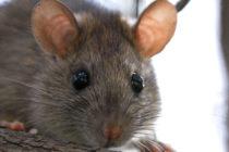 Encuentran rata en máquina expendedora de escuela del sur de Florida
