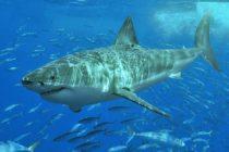 Rastreados tiburones blancos cerca del sur de la Florida