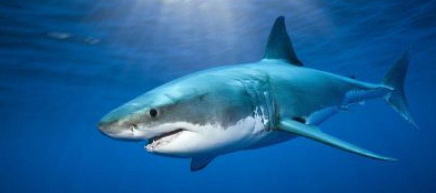 Detectan señal de un gran tiburón blanco cerca de las costas de Florida