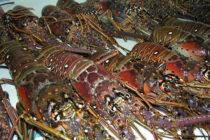 En Miami autoridades incautan barco por pesca ilegal de langostas