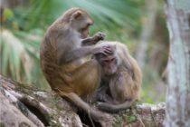 ¡Cuidado! Estos monos de Silver Springd portan un enfermedad mortal para los humanos