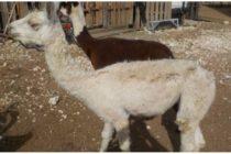 ¡Crueldad Animal! Procesado por maltratar a cientos de animales de granja