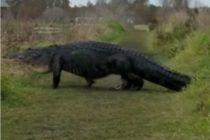 Mujer viralizó encuentro cercano con caimán 'Monstruo' de Florida