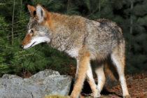 Presencia de coyotes en un campo de golf abandonado genera alarma en habitantes de Oakland Park