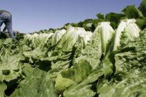 Eliminan alerta por E. coli en lechuga romana en Estados Unidos