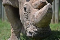 Herida niña de dos años que cayó en exhibición de rinocerontes en el zoológico de Florida