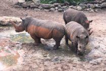 Niña se recupera de múltiples lesiones tras caer a la exhibición de rinocerontes en el zoológico de Brevard