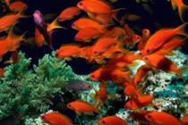 Comenzaron a repoblar costas del sur de Florida con 16 mil peces