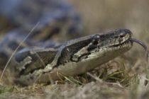 Propietarios de anacondas se oponen a ley estatal de Florida que prohíbe esta especie