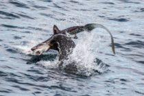 ¡También es el rey del mar! Brutal ataque de un león marino a un tiburón  [VIDEO]