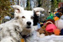 Murió Chaser «el perro más inteligente del mundo» que reconocía los nombres de más de mil objetos