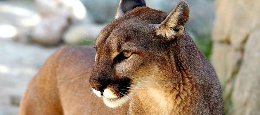 La valentía de un padre salva a un niño de morir en las garras de un Puma