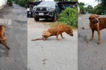 Lo más tierno que verás hoy: Un perro finge tener la pata rota para conseguir comida y atención