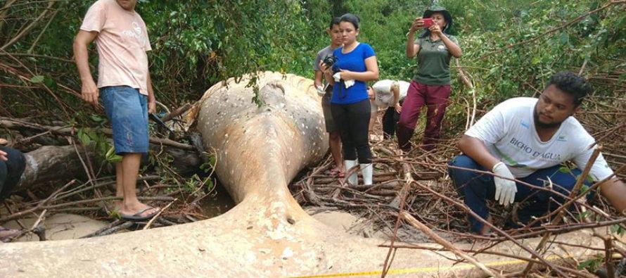 ¡Sorpresa! Encontraron una ballena jorobada en medio de la selva brasileña (Video)