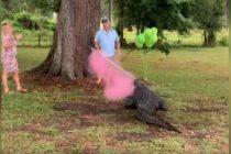 Con la ayuda de un cocodrilo pareja de Florida reveló el sexo de su bebé (Video)