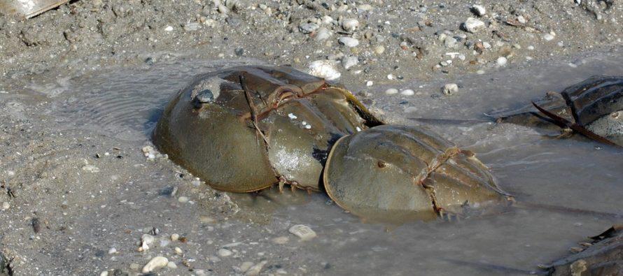 FWC quiere que se reporten avistamientos de cangrejos teniendo sexo