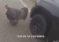 Viral: Un policía falla en su intento de ahuyentar a unos pavos muy molestos de la carretera +Vídeo