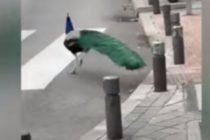 ¡De película! Efectos de la cuarentena: Pavos reales en el centro de Madrid +Vídeo