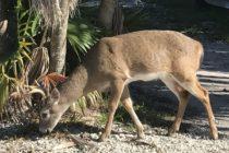 Trump planea sacar los ciervos de la lista en peligro de extinción de Florida