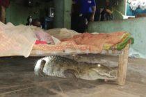 ¡Horrible! Al mirar debajo de su cama a medianoche un granjero se encontró un cocodrilo