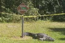 Oficiales capturaron enorme cocodrilo 'enojado' en Rowlett Park