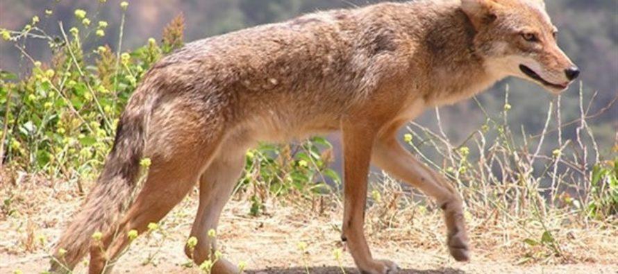 Hombre se defendió de ataque de un coyote en Florida con una taza de café