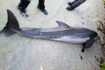 Encontraron manguera de 24 pulgadas en estomago de delfín en Florida