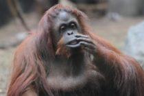 Este jueves inicia la primera parte del traslado de orangutana Sandra de Buenos Aires a Florida
