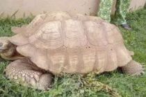 ¡Increíble! Murió la tortuga más antigua de África: Alagba, con 344 años en Nigeria