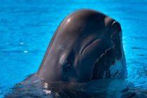 Murió «Fredi», una ballena rescatada en los Cayos de Florida por SeaWorld