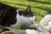Científicos develan el misterio de por qué los gatos comen hierba