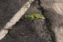¡Sorprendente! Ola de frío provocó «lluvia de iguanas» en Florida (Video)