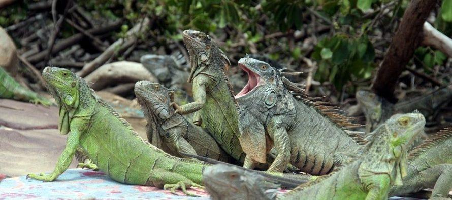 Otorgan licencia para matar iguanas verdes tras invasión en Florida