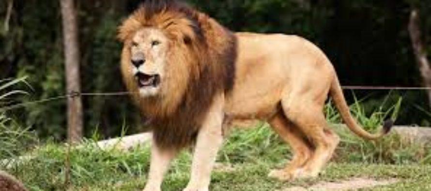 ¡Peligro! Turista fue atacado salvajemente por una leona cuando la acariciaba en un parque (Video)