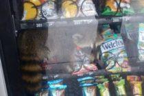 ¡Solo en Florida! Rescataron a mapache de maquina expendedora de comida (Video)