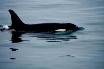 ¡Asombroso! Grupo de orcas se lanza a la persecución de tiburones blancos (Video)
