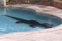 Familia en Palm Beach recibió la visita de cocodrilo de tres metros en su piscina (Video)