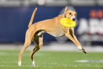 Perro casi anota touchdown en medio de un partido de futbol americano en Florida (Video)