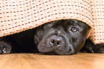 Advierten que las mascotas pueden presentar ataques de pánico por los fuegos artificiales este 4 de julio